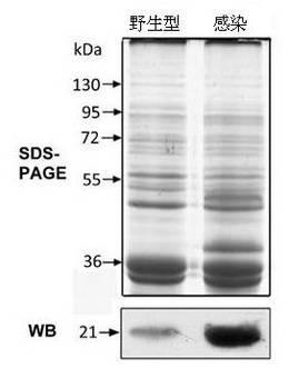 一种以大肠杆菌外膜孔蛋白OmpW为靶点筛选药物的方法