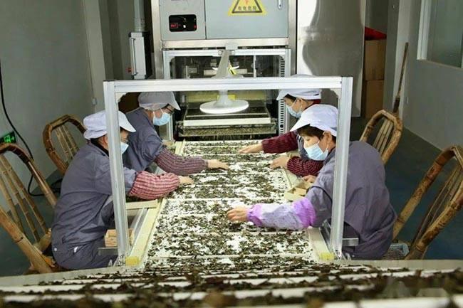 国内首创专利:白茶多功能拣茶机开始使用